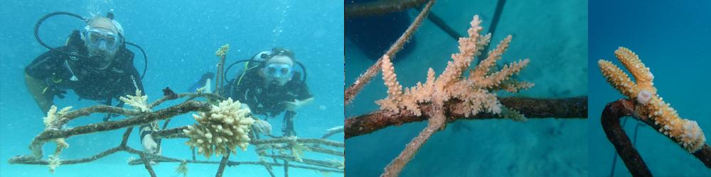Underwater Gardening at Veligandu Island Resort & Spa